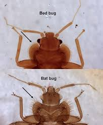 Bed Bug Nest Pictures Prevention And Control Of Bed Bugs In Residences Insects