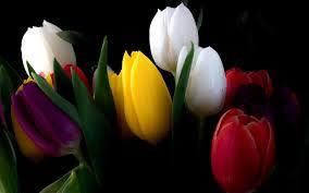 wallpaper bunga tulip bunga tulip flower wallpaper hd desktop background