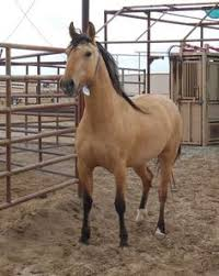 mustang adoption honey kiger mustang for adoption horses we ℒℴѵℯ
