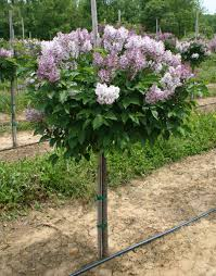 miss lilac small lilac bush grafted onto small tree