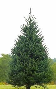 balsam fir christmas tree real christmas trees wolcyn tree farms minnesota