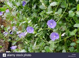 Wall Gardens Sydney by A Flowering Convolvulus Creeper Plant Hangs Over A Stone Wall In A
