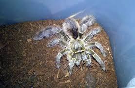 a e pachypus stout leg baboon tarantulas