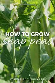 how to grow snap peas small footprint family