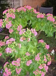 Zone Gardening - tropical zone gardening dombeya seminole 1 by phughes