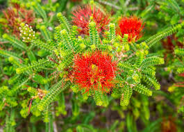 Perth Botanic Gardens Sand Bottlebrush Flower In Park And Botanical Gardens