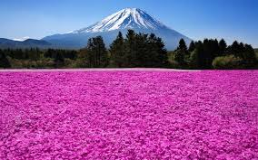 volcano flowers japan fuji volcano mountain trees flowers wallpaper nature