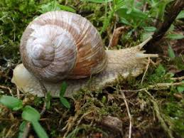 comment cuisiner des escargots ramassage et préparation des escargots de bourgogne jean