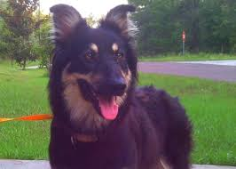 belgian sheepdog 101 java the australian shepherd belgian shepherd adopted the