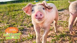 awesome animals s1e2 pig jpg