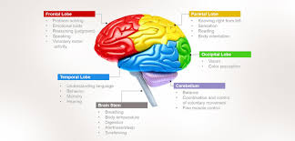Which Part Of The Brain Consists Of Two Hemispheres Human Brain Functions Functioning Of Human Brain With Diagram