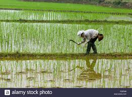K He Suchen Vietnam Yen Bai Provinz Van Chan Bezirk Dong Khe Reisfeld