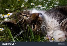 cat lying grass within daises slovakia stock photo 528494815