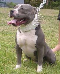 american pitbull terrier jumping stop puppies biting hands how do i stop my puppy from jumping up