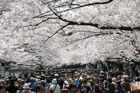 did japan u0027s hallowed cherry trees actually originate in south