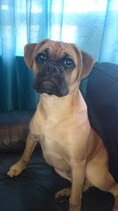 boxer dog 2015 fawn boxer dog puppy west bromwich west midlands pets4homes