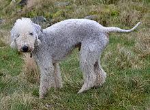 bedlington terrier guide bedlington terrier wikipedia