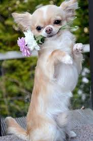 long hair chihuahua hair growth what to expect best 25 chiwawa breeds ideas on pinterest chihuahua breeds