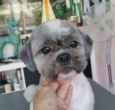 shih tzu haircuts 74 best shih tzu grooming hairstyles images on pinterest doggies