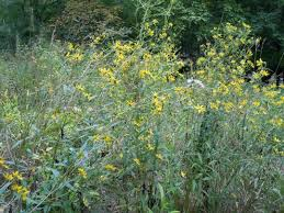native nc plants plants north carolina native plant society
