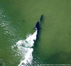 cape cod u0027s great white shark population may be growing