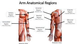 anatomy exam 1 gallery learn human anatomy image
