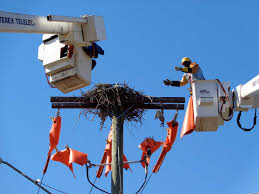 connecticut light power high and live wire act cl p crews move westport osprey nest