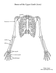 Human Anatomy Skeleton Diagram 121 Best Human Body Anatomy Images On Pinterest Human Body