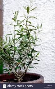 small olive tree growing in pot stock photo royalty free image