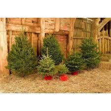 living blue spruce real tree 3 4ft at homebase co uk