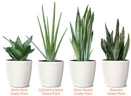 Plants For Bedroom Different Types Of Snake Plant Mother In Law Tongue Snake Plants