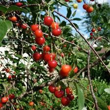 www find friends school cherry pie friends school plant sale