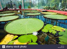 australian native aquatic plants australian water lily stock photos u0026 australian water lily stock