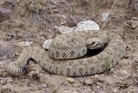 serpents in the garden u2013 pica hudsonia