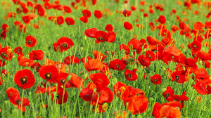 Poppy Flower Garden by Flower Garden Images And Wallpapers Download