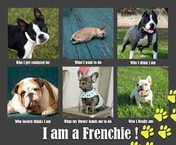 French Bulldog Meme - jprchitect design i am a french bulldog