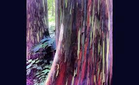 Rainbow Eucalyptus Living Rainbow Rainbow Eucalyptus U2013 Mannaismaya Adventure U0027s Blog