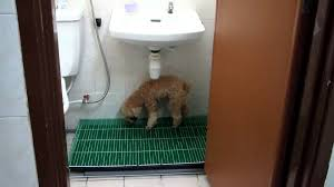 toilet training for small dogs youtube