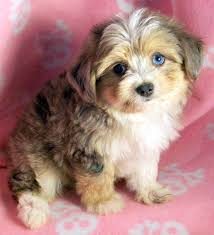 australian shepherd history toy australian shepherd poodle dogs puppies for sale miniature