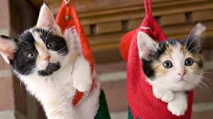 cat christmas beautiful christmas cats hanging wallpaper why evolution is true