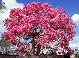 Trees With Pink Flowers Trumpet Trees Gardening Solutions University Of Florida