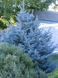 blue spruce trees 25 beautiful blue spruce tree ideas on blue spruce