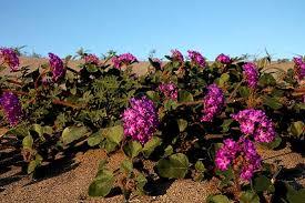 anza borrego wildflowers super bloom of wildflowers days away in anza borrego desert kpbs