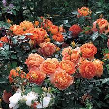 pat austin repeat flowering popular searches