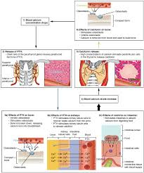 17 5 the parathyroid glands anatomy and physiology