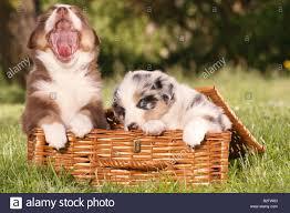 australian shepherd puppies two australian shepherd puppies sitting in basket stock photo