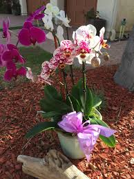 assorted orchid plants in agoura ca oakbrook florist