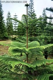 tree in hawaii at helemano farms exploration