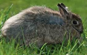 introduction rabbit breeds animals grit magazine