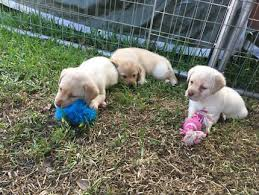 accounting resume exles australian kelpie lab male labrador puppy dogs puppies gumtree australia blacktown